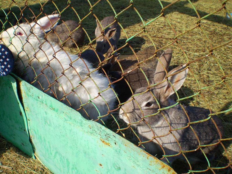 Кролики, живущие на кордоне.
