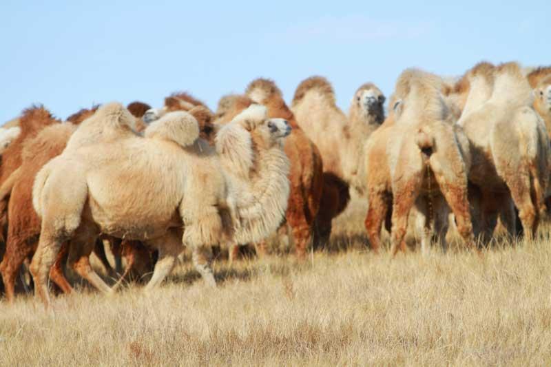 Стадо верблюдов.