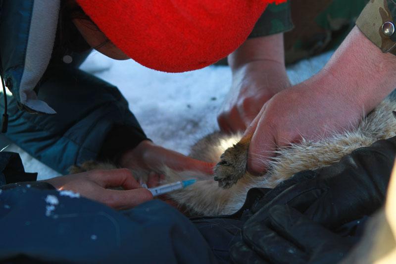 Научный сотрудник из Москвы Екатерина Павлова берет у кошки кровъ для различных анализов.