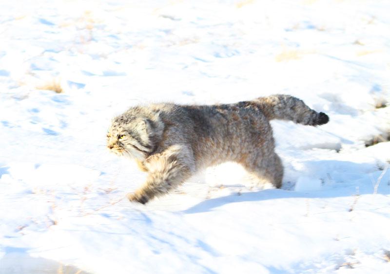 Котэ мчится, мчится сквозъ снежную равнину...
